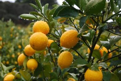 localharvest_lemons.15395618